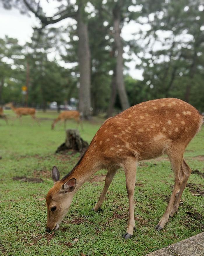 I cerbiatti a spasso per il parco di Nara, escursione da fare partendo da Osaka o da Kyoto